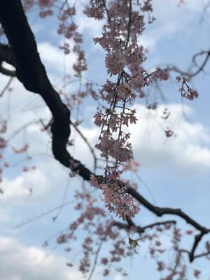 枝垂桜2020